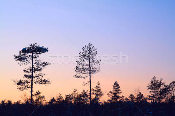 silhouette pine wood Stock photo © basel101658