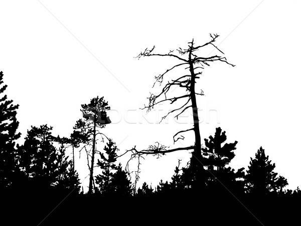 Vektör çizim siluet eski çam beyaz Stok fotoğraf © basel101658