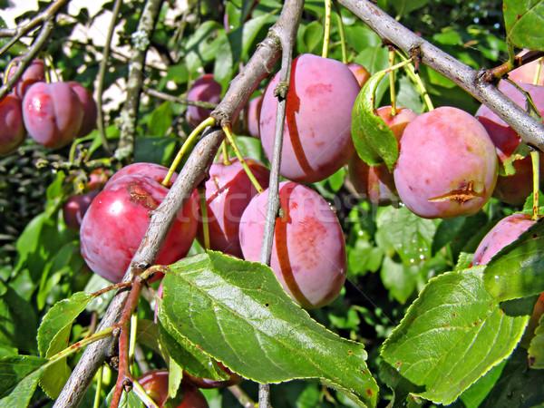 Maturo prugna ramo design foglia frutta Foto d'archivio © basel101658