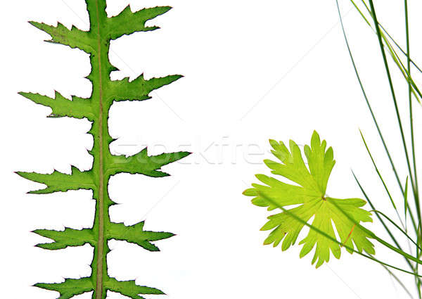 sheet of the plant on white background Stock photo © basel101658
