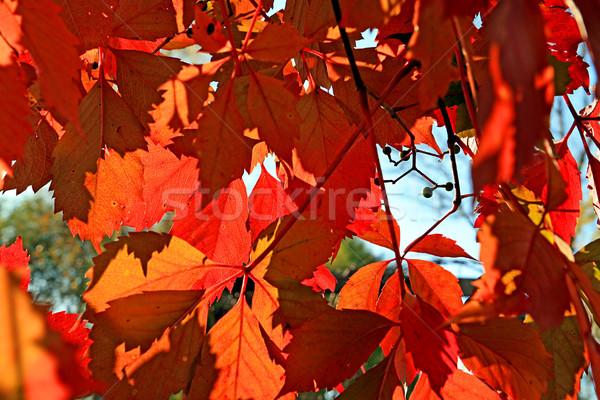Piros ősz lap természet űr növény Stock fotó © basel101658