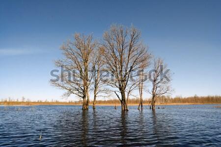 small oak amongst spring flood Stock photo © basel101658