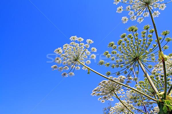Fiore natura luce verde blu testa Foto d'archivio © basel101658