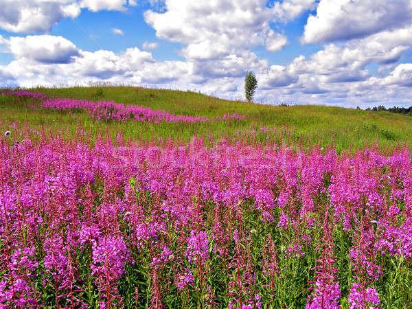 flowerses in field      Stock photo © basel101658