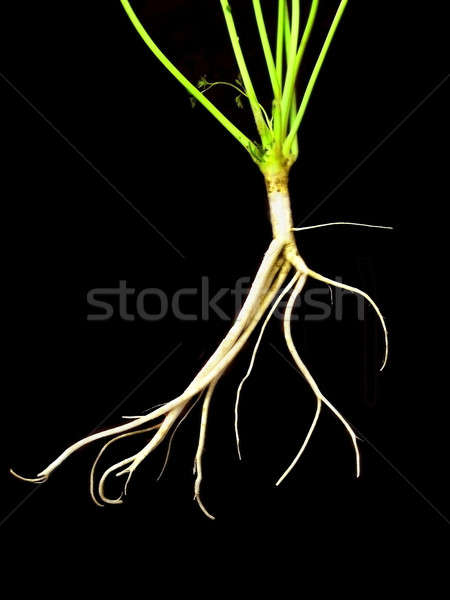 root parsley Stock photo © basel101658