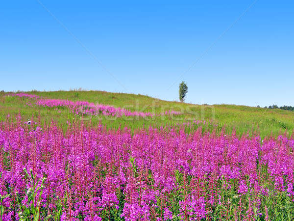 lilac flowers on field    Stock photo © basel101658