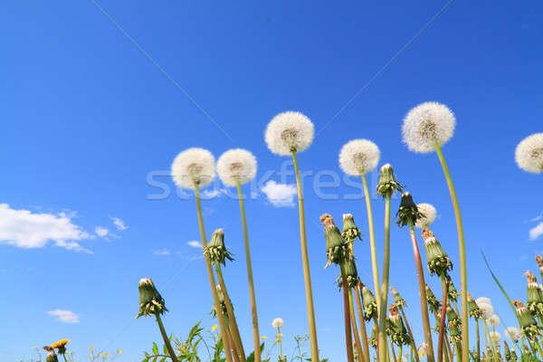 Paardebloemen veld hemel bloem voorjaar zomer Stockfoto © basel101658