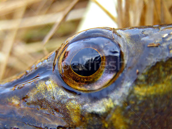 eye of the pike       Stock photo © basel101658