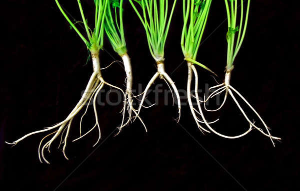 root of the parsley on black background  Stock photo © basel101658
