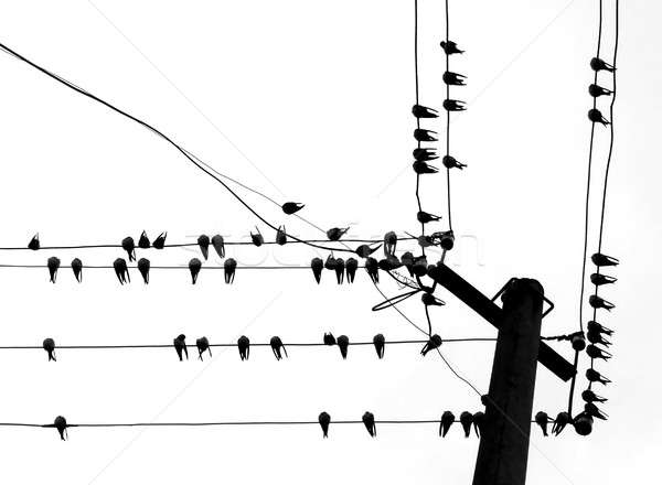 reposing swallows on wire Stock photo © basel101658