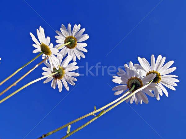 Stok fotoğraf: çevirmek · mavi · çiçek · çiçekler · bahar · beyaz