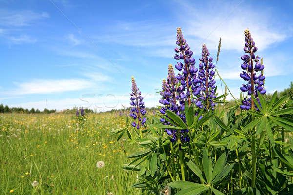 Kék tavasz mező űr élet szabadság Stock fotó © basel101658