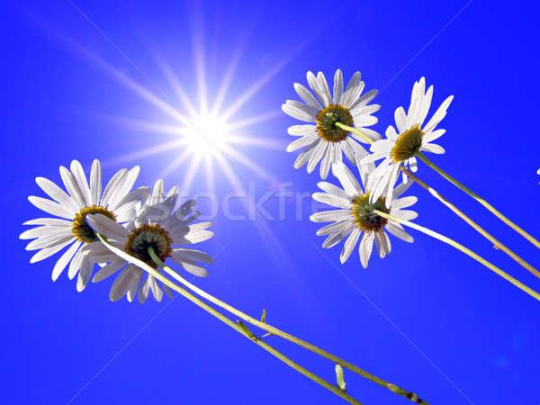 Stok fotoğraf: Krizantem · mavi · çevirmek · çiçek · bahar · çim