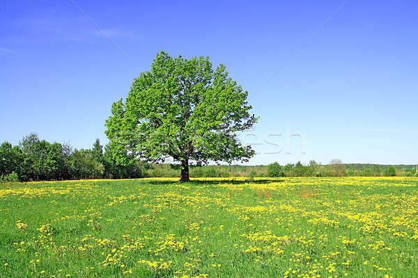 Tölgy mező égbolt tavasz fű nyár Stock fotó © basel101658