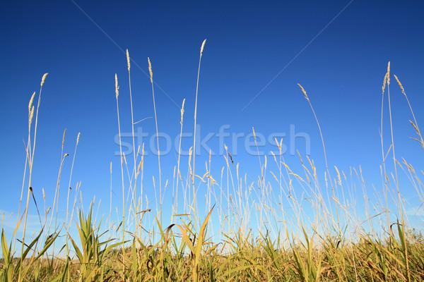 Stock fotó: Száraz · gyógynövény · mező · fű · levél · szépség