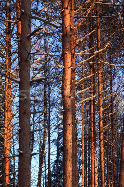 Pino legno foresta sunrise vita oro Foto d'archivio © basel101658