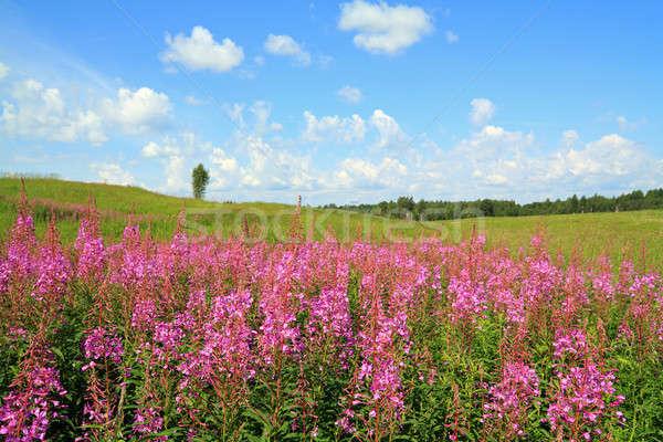mauve flowerses on field Stock photo © basel101658