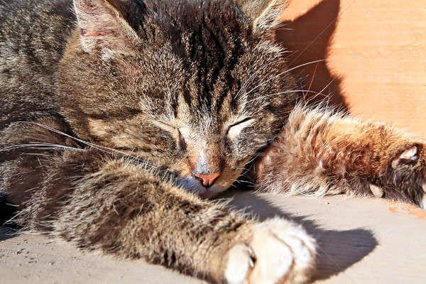 sleeping cat Stock photo © basel101658