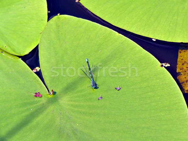 dragonfly on sheet of the water lily    Stock photo © basel101658