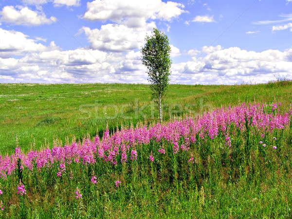 Lila flores campo primavera hierba madera Foto stock © basel101658