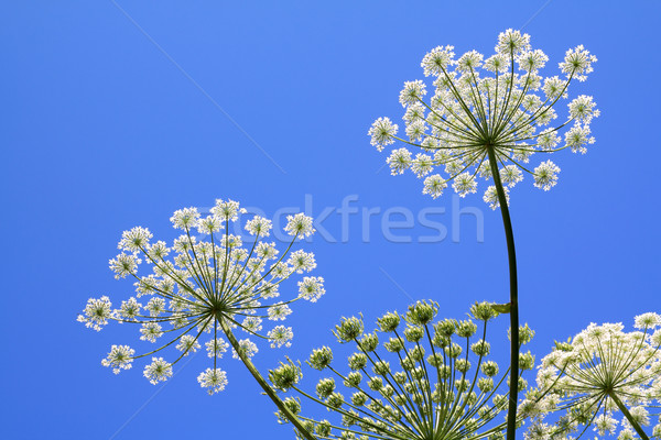 Stock fotó: Virág · természet · fény · zöld · kék · fej