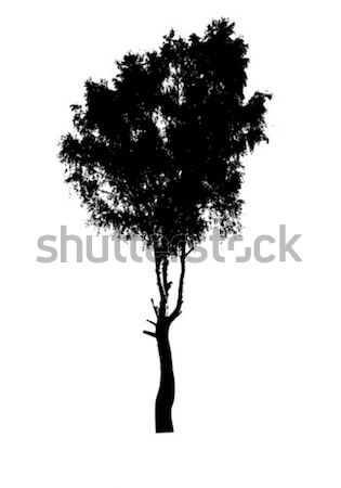 silhouette of the birch isolated on white background  Stock photo © basel101658