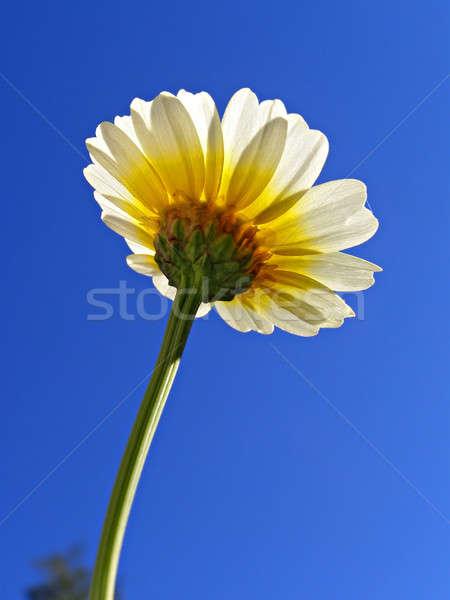 Foto stock: Flor · crisantemo · cielo · azul · cielo · primavera · naturaleza