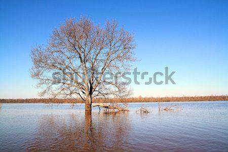 big oak amongst spring flood Stock photo © basel101658