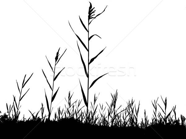 silhouette of the reed isolated on white background Stock photo © basel101658