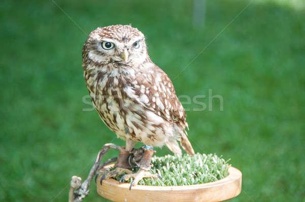 Owl Stock photo © bayberry