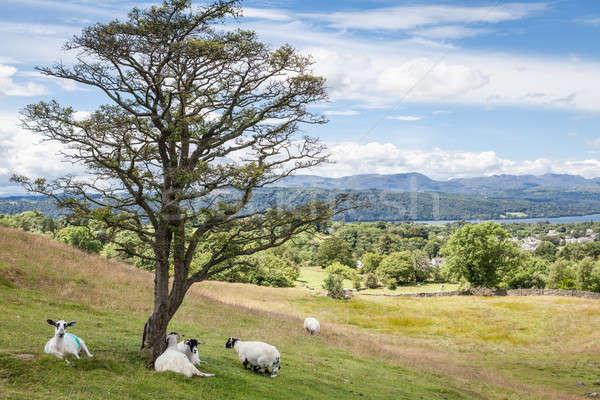 Paisaje ovejas lago montana verano Foto stock © bayberry