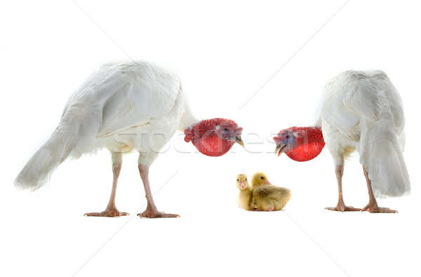 turkey and chicken goose Stock photo © bazilfoto