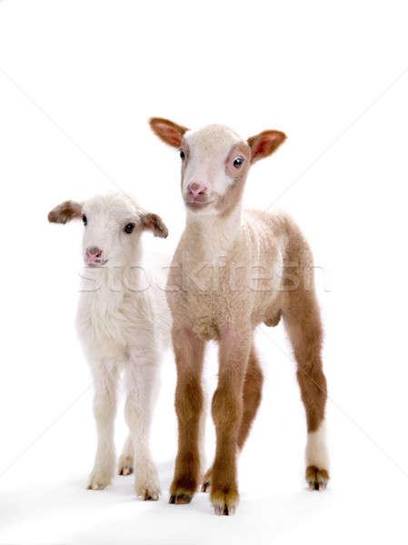 Dois pequeno ovelha branco bíblia retrato Foto stock © bazilfoto