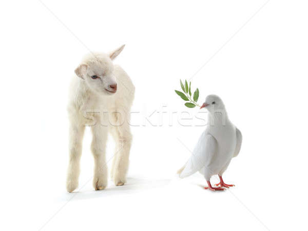 pigeon and goat Stock photo © bazilfoto