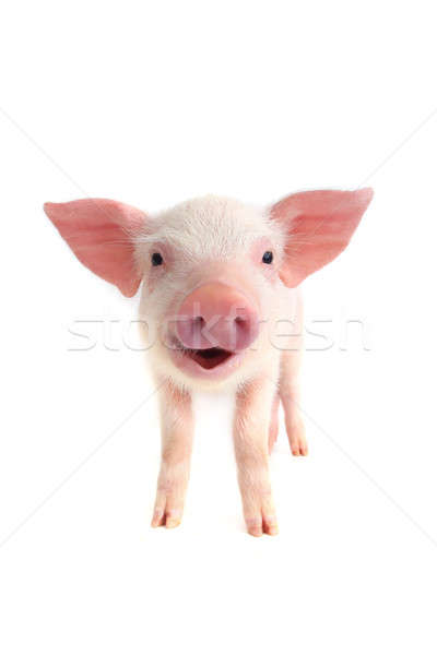 smile pig  Stock photo © bazilfoto