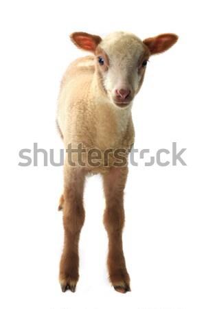 ストックフォト: 羊 · 白 · 背景 · 聖書 · ファーム
