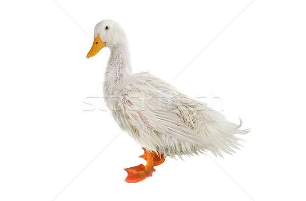 wet duck Stock photo © bazilfoto