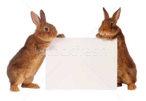 two rabbit Stock photo © bazilfoto