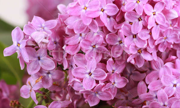 ストックフォト: ライラック · 花 · 自然 · 背景 · 工場