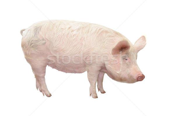 ストックフォト: 豚 · 白 · 背景 · ファーム · スタジオ · 腹