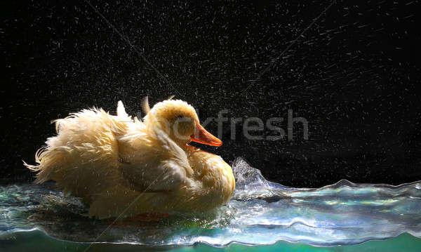 white duck  Stock photo © bazilfoto