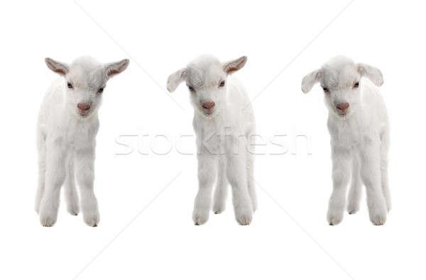 three goat Stock photo © bazilfoto
