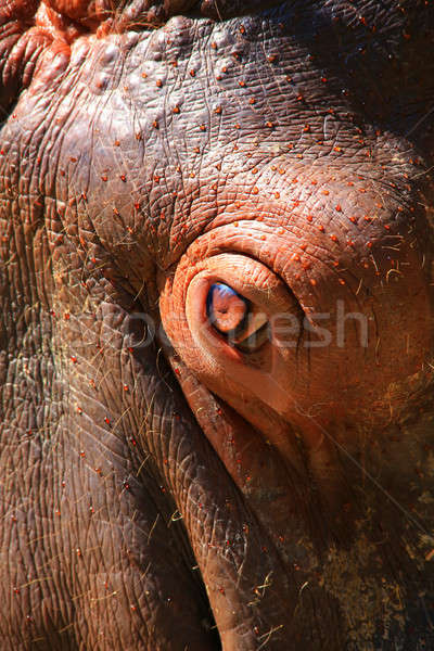 hippopotamus  Stock photo © bazilfoto