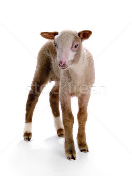 little sheep Stock photo © bazilfoto