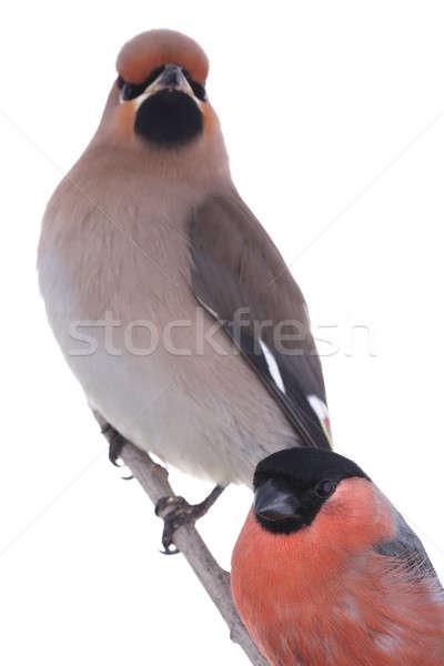 Vogels boheems oranje vogel Rood kleur Stockfoto © bazilfoto