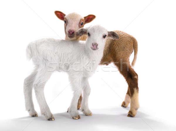 2 羊 白 背景 聖書 ストックフォト © bazilfoto