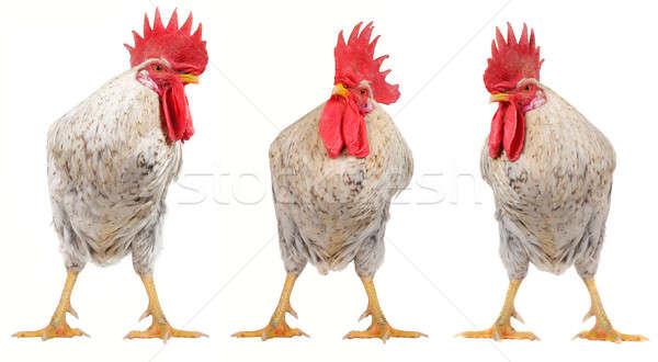 white cock  Stock photo © bazilfoto