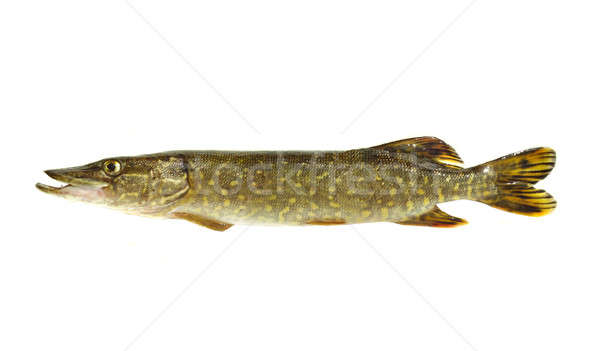 pike Stock photo © bazilfoto