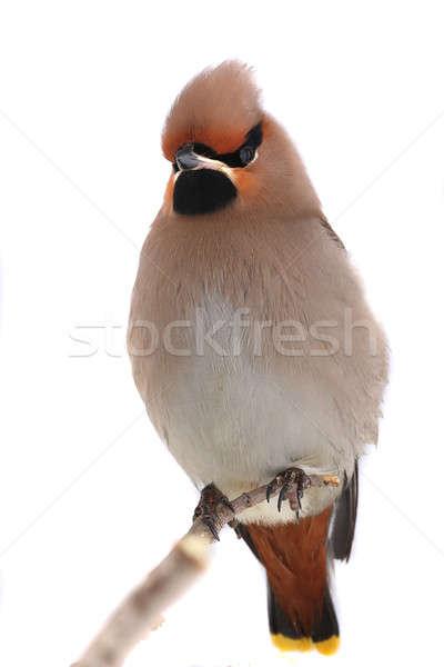 自由奔放な 背景 鳥 羽毛 黄色 環境 ストックフォト © bazilfoto