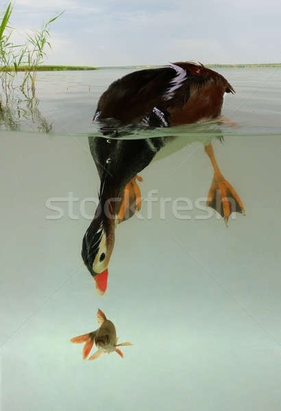 duck marine Stock photo © bazilfoto